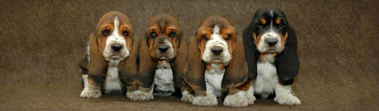 lovely-line-of-basset-hound-puppies-web-header